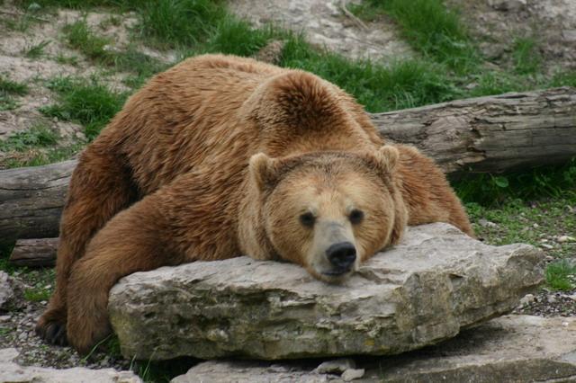 Résultats de recherche d'images pour «l'ours»