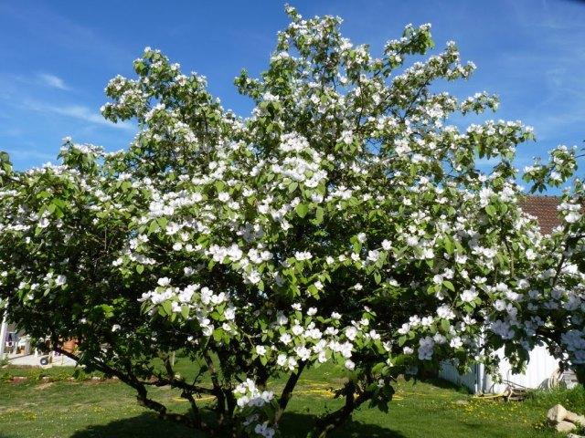 cognassier en fleur au printemps