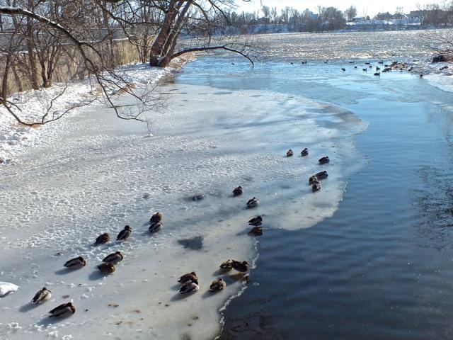 Quartiers d'hiver pour les canards - T-Bear