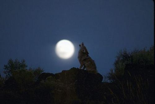 Hurler Avec Les Loups Tbear Blog