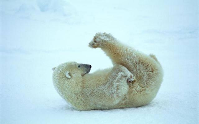 T-Bear faisant ses abdominaux sur la banquise