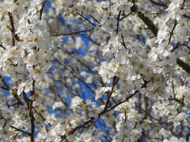 fleurs de cerisier le 8/03/2014 à Graulhet France - Paco Salamander