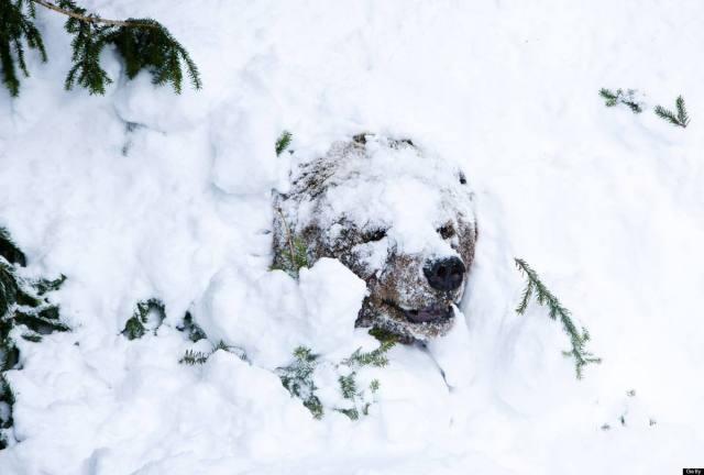 Un T-Bear brun pointant sa truffe enneigé pour humer l'arrivée du printemps