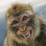 macaque (ou mago) en train de rire en Kabylie.