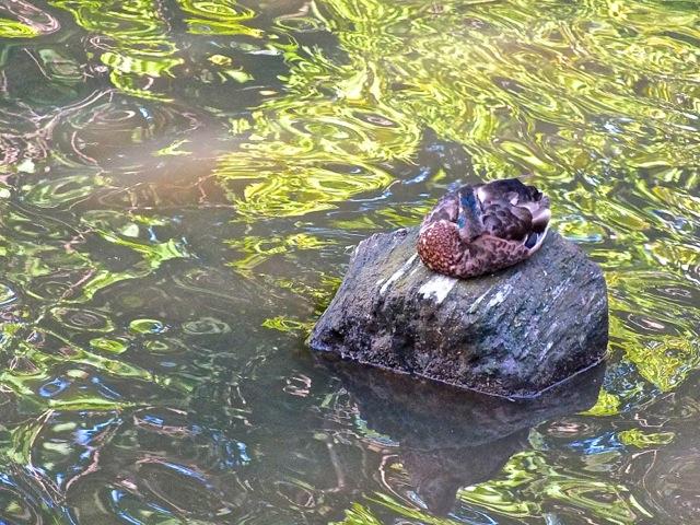 Un canard couvant son île - T-Bear