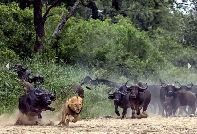 Conscient de sa force au delà des préjugés, le troupeau fait fuir le prédateur - photo extraite de Cahantouvivelavie