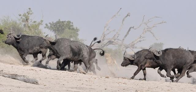 La peur du prédateur par préjugé fait fuir le troupeau - photo Esther Sade