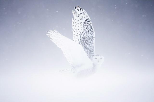 Harfang des neiges pr David Allemand