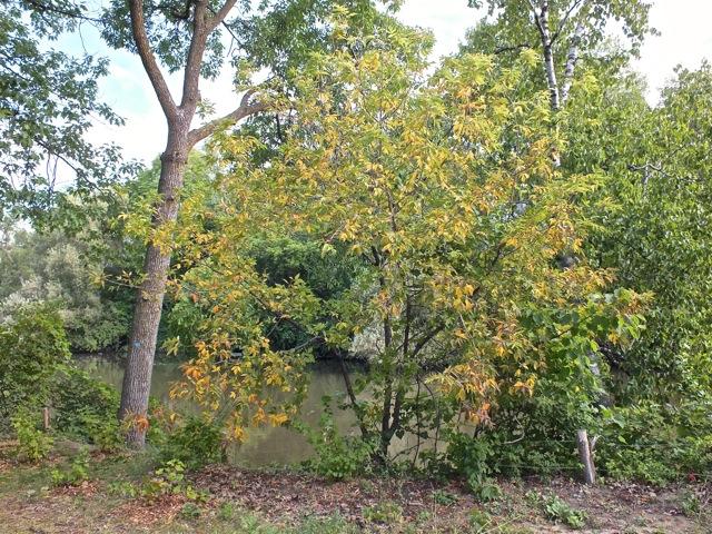Premiers arbre a avoir la jaunisse - T-Bear