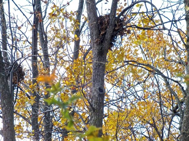 nids d'écurieux - T-Bear