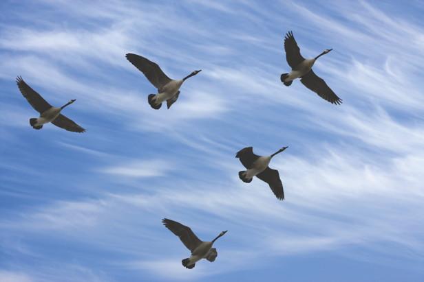 geese-v