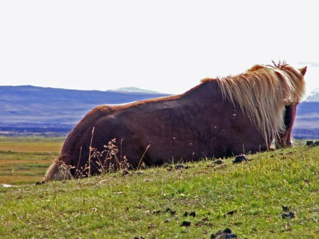 cheval-islandais-du-lac-myvatn