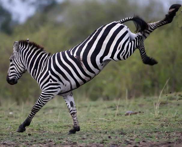 Parlez le Sans - Page 6 Ruade-zebres