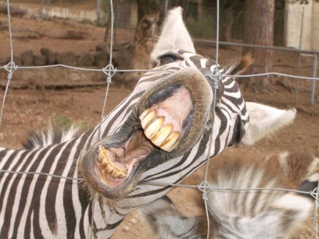 zebre-hilare