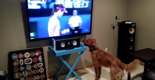 chien-fou-saute-pour-avoir-la-balle-de-tennis-800x414