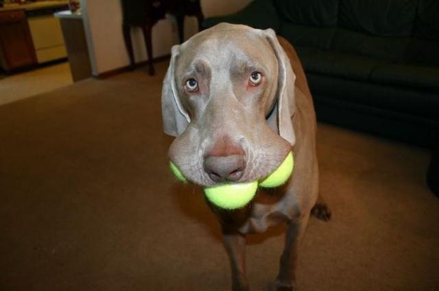 chiens-balles-tennis