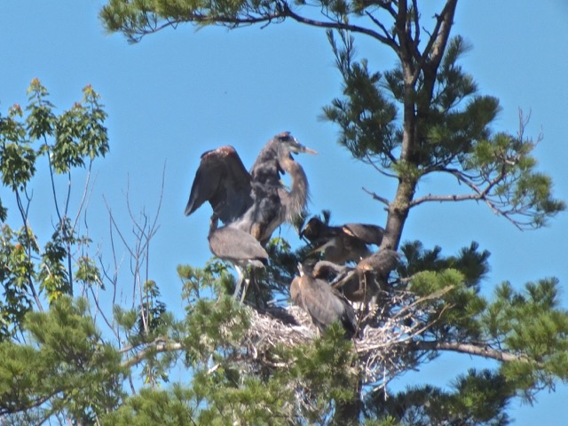 Papa Riquet a de la difficulté à atterrir sur le bord du nid devenu trop petit - T-Bear