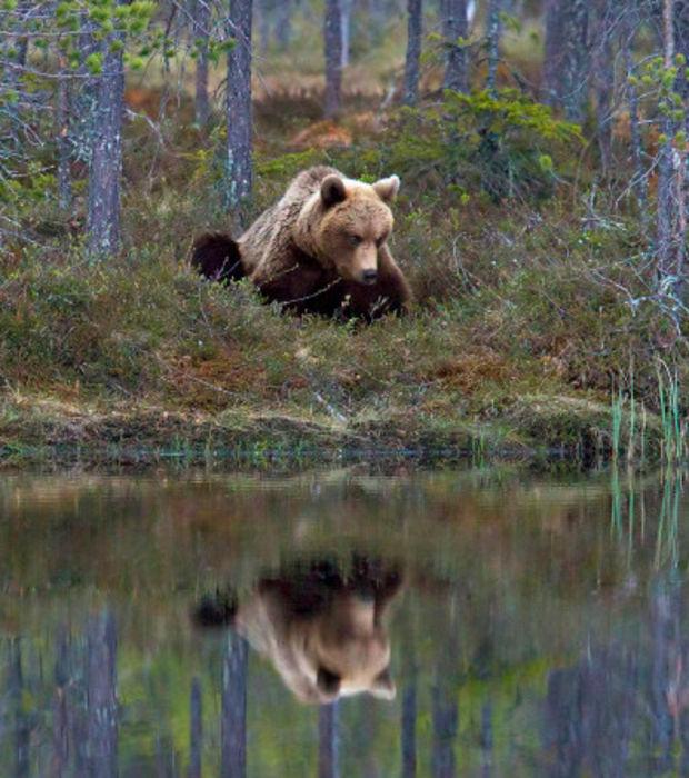 l-ours-brun-a-alors-jete-un-coup-d-oeil-vers-le-lac-et-a-semble-contempler-son-reflet-pendant-de-longues-minutes-sans-bouger_60823_w620