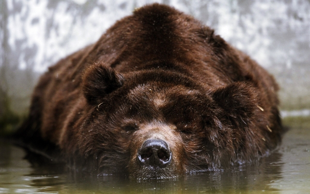 Bathing-Bear