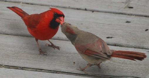 """Ce n'est pas un """"bec"""". Lors de la parade, le mâle donne la becquée à la femelle pour lui prouver qu'il est apte à nourrir les poussins."""