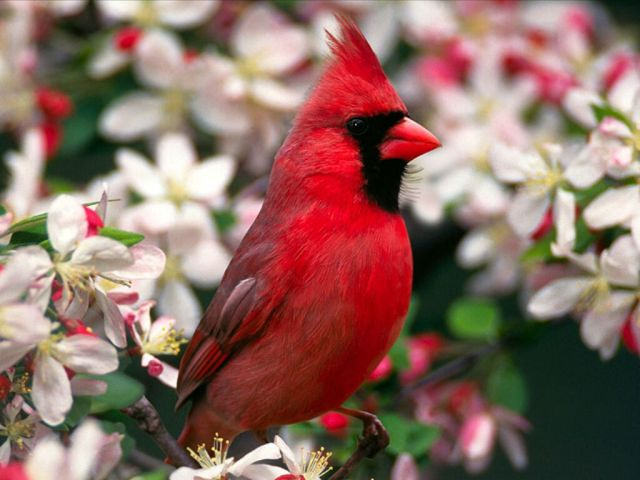 cardinal printemps