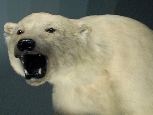 ours gueule ouverte