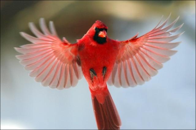 vol cardinal