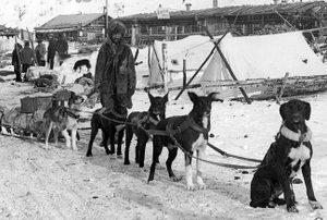 Les chiens n'étaient pas tous des huskies ni des malamuts.