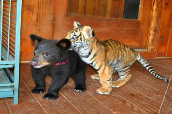 friendship-between-lion-tiger-and-the-mighty-bear-03