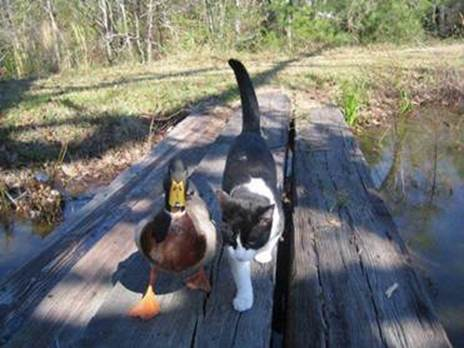 Le temple des chats - Page 3 Chat-canard