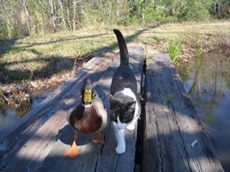 amitié aussi particulière entre un canard et un chat