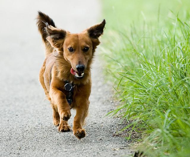 duree-promenade-chien