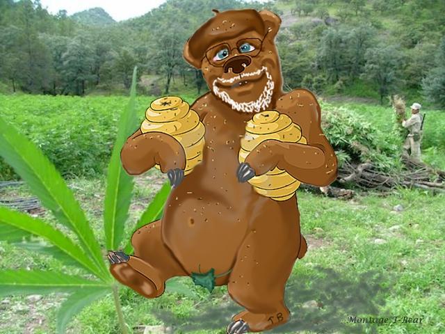 T-Bear en état avancée de dépendance au miel de cannabis