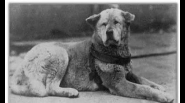 Le chien Hachi Kö en 1934