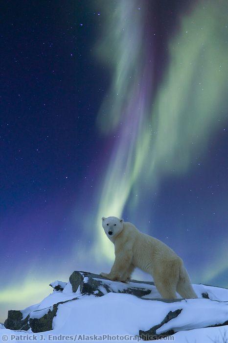 ours aurore bauréale