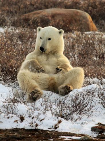 ours-sur-canape-de-neige