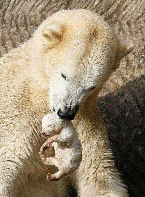 maman-ours-portant-bebe